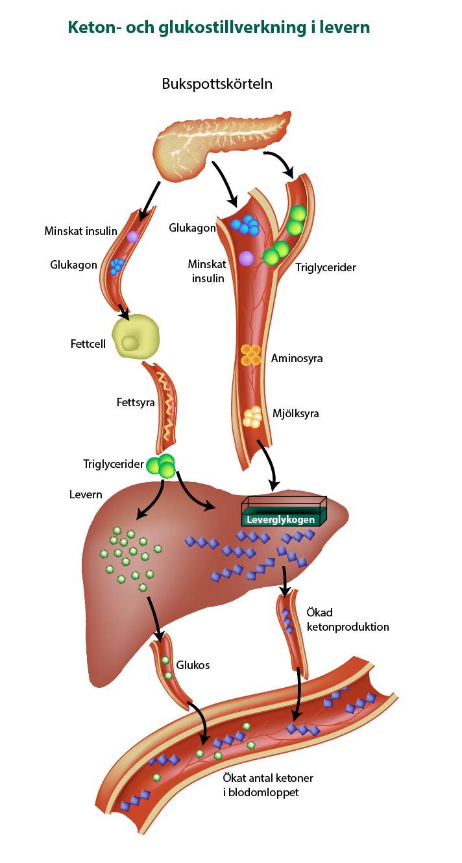 Keton- och glukostillverkning i levern