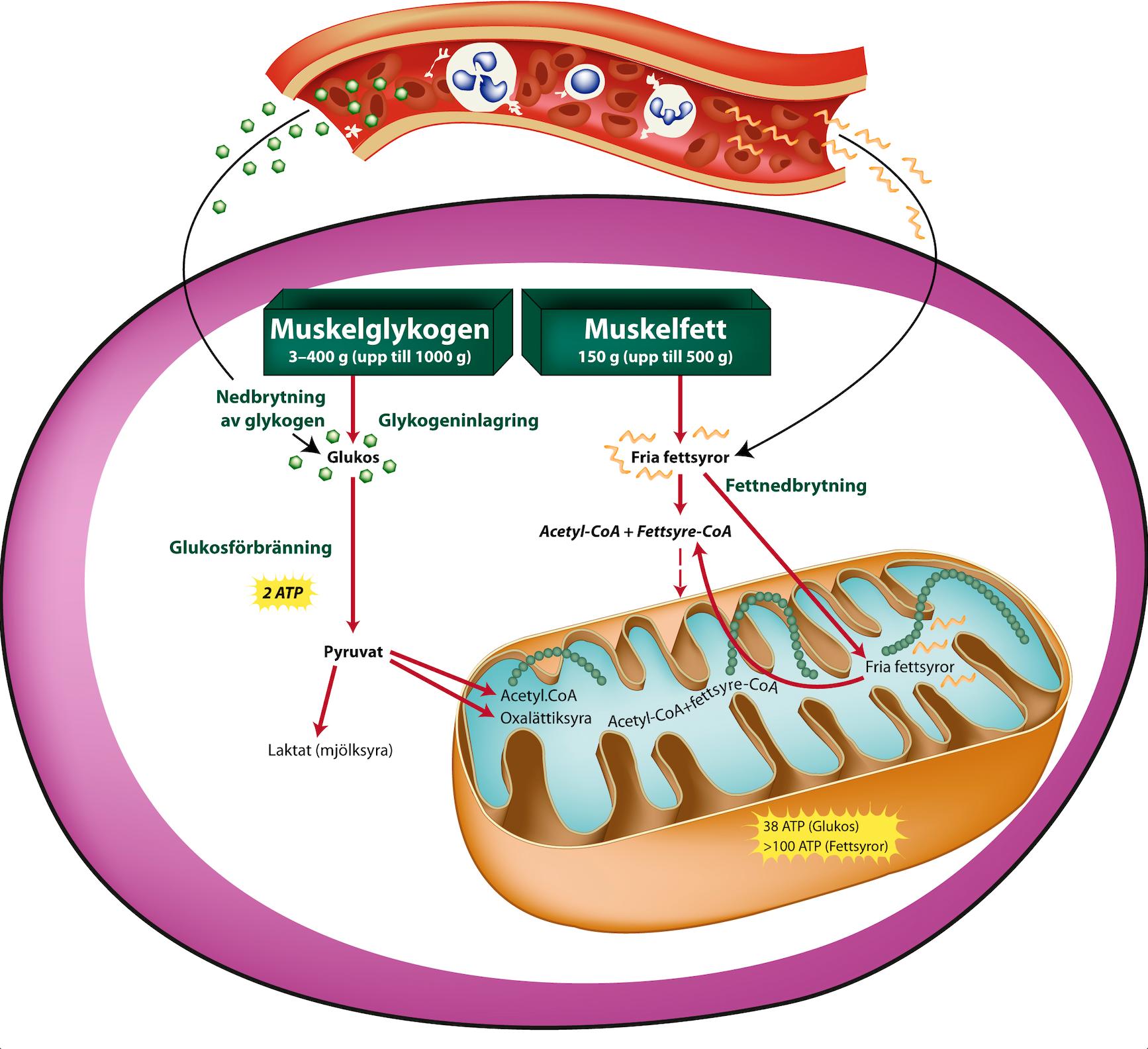 Muskelglykogen och muskelfett (1)